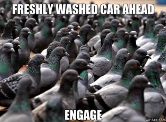 pigeons-meme