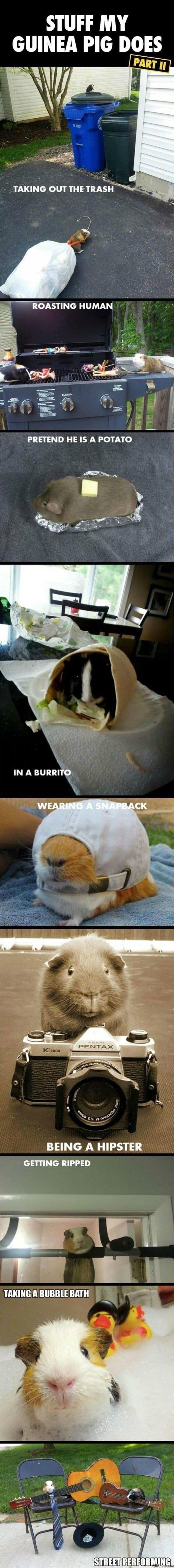 stuff-my-guinea-pig-does-meme