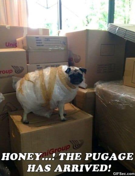 the-pugage-has-arrived-meme