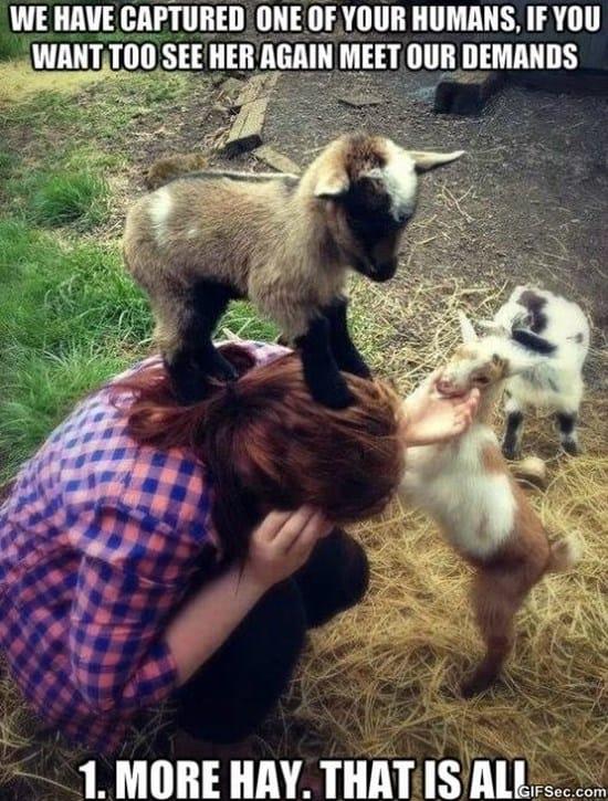 evil-goat-hostage-situation-meme