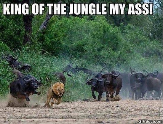 king-of-the-jungle-meme-2015