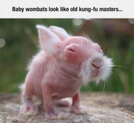 baby-wombats