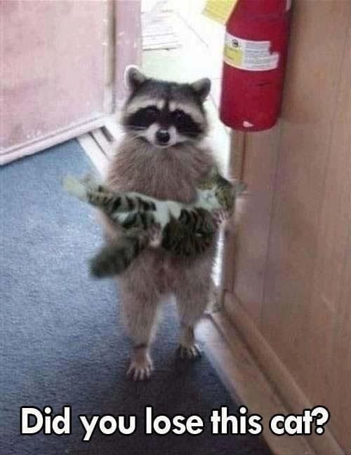 funny-racoon