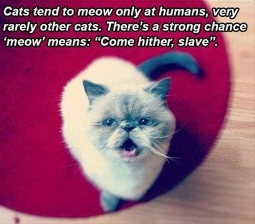 cats-tend-to-meow-only-at-humans
